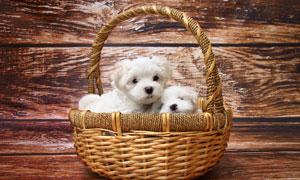 篮子里的两只可爱小狗摄影高清图片