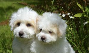 花丛前的两只可爱小狗摄影高清图片