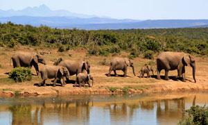 远山树林与水边的象群摄影高清图片