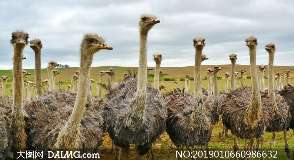草原上伸长脖子的鸵鸟摄影高清图片