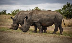 草原上结伴觅食的犀牛摄影高清图片