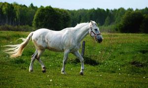 草场上的一匹白色骏马摄影高清图片
