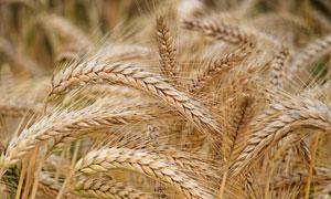 农田里成熟的麦穗特写摄影高清图片