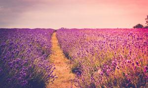 规模化种植的薰衣草园摄影高清图片