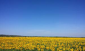 在蔚蓝天空下的向日葵摄影高清图片