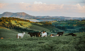 在山坡上吃草的牛羊群摄影高清图片