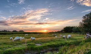 草地上吃草的羊群风光摄影高清图片