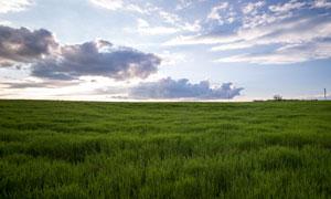 蓝天白云与被风吹着的草场摄影图片