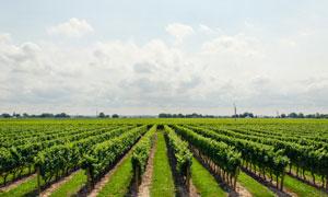 天空白云与葡萄园风光摄影高清图片