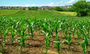 小镇房子与玉米地风光摄影高清图片