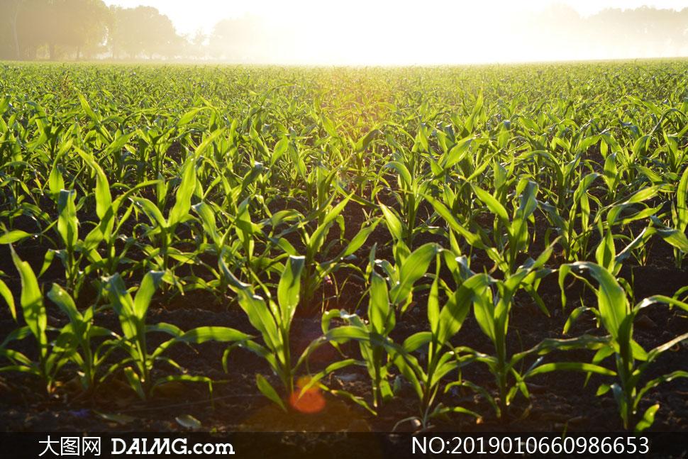 一望无垠的玉米庄稼地摄影高清图片