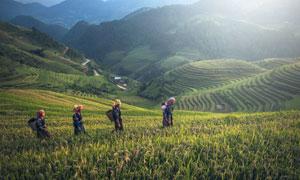 走在稻田间的农民人物摄影高清图片