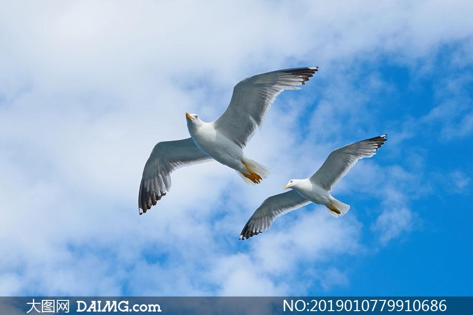 翱翔在空中的海鸥主题摄影高清图片