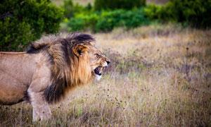 草原上一头凶猛的狮子摄影高清图片