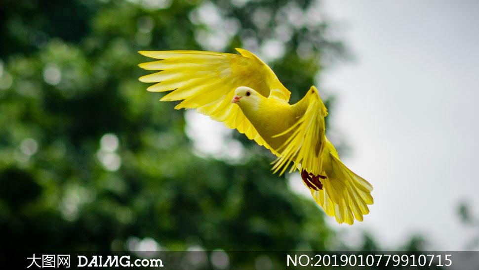 在展翅飞翔的黄色小鸟摄影高清图片