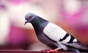 一只安静漂亮鸽子特写摄影高清图片