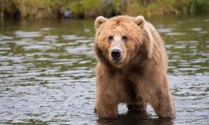 在蹚水过河的棕熊特写摄影高清图片