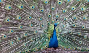 一只开了屏的蓝色孔雀摄影高清图片