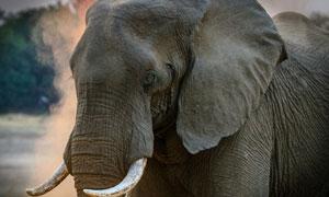 在低头前行的大象特写摄影高清图片