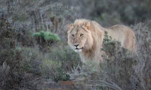 草丛中出没的狮子特写摄影高清图片