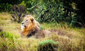 卧在草丛中的长毛狮子摄影高清图片