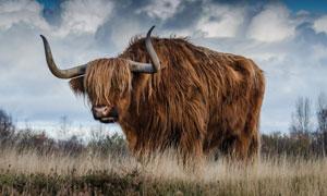 蓝天白云草丛牦牛风景摄影高清图片