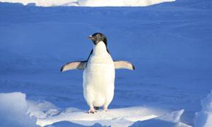 站在冰上的可爱小企鹅摄影高清图片