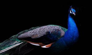 黑色背景前的华美羽毛孔雀高清图片