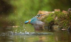 水面上掠过的小鸟特写摄影高清图片