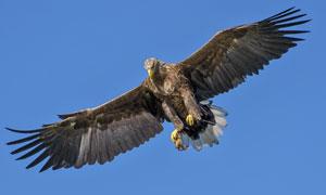 天空中展翅高飞的老鹰摄影高清图片