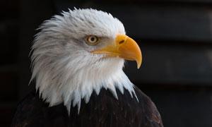 黄嘴白头的美洲雕特写摄影高清图片