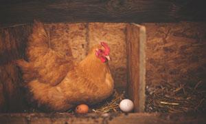 在窝里下蛋的母鸡特写摄影高清图片