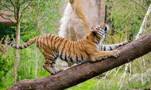 在大树上练瓜子的老虎摄影高清图片