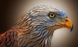 明亮眼睛的鹰近景特写摄影高清图片
