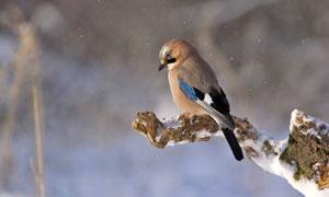 雪天树枝上的麻雀特写摄影高清图片