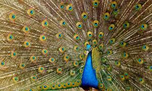 羽扇般的孔雀羽毛特写摄影高清图片