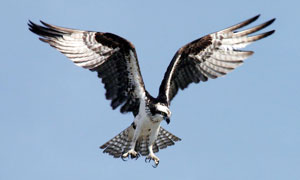 空中展翅伸出利爪的鹰摄影高清图片