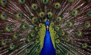 展开色彩艳丽羽毛的蓝孔雀高清图片