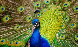 有着鲜艳色彩羽毛的蓝孔雀高清图片