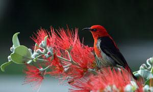树枝上的红头麻雀特写摄影高清图片