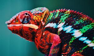 色彩鲜艳的变色龙特写摄影高清图片