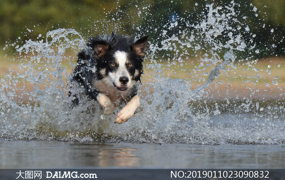 在水面上飞奔的狗特写摄影高清图片