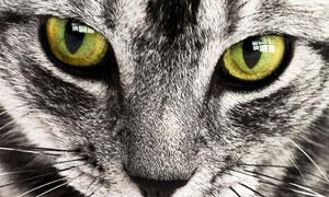 伸着红舌头的猫咪特写摄影高清图片
