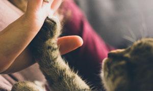 与铲屎官击掌的小猫咪摄影高清图片