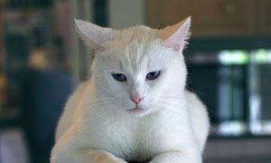蓝眼睛的白猫动物特写摄影高清图片