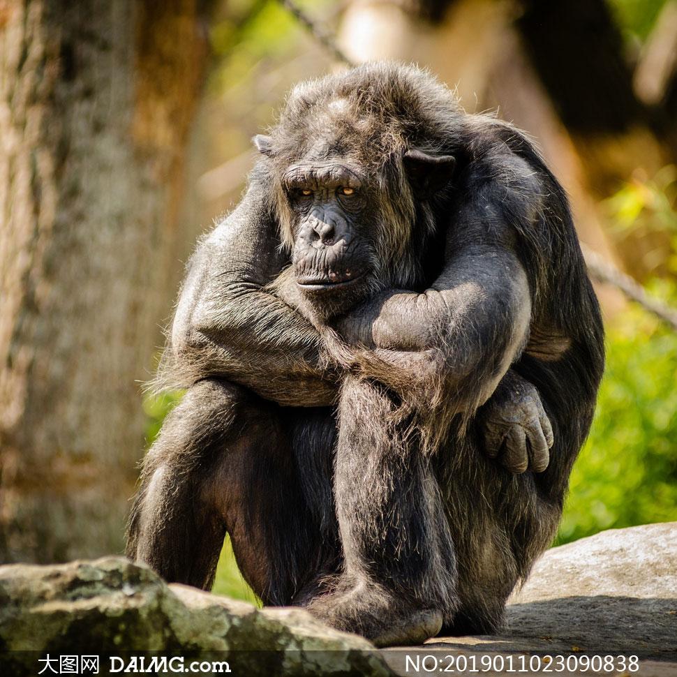 坐着的黑猩猩近景特写摄影高清图片
