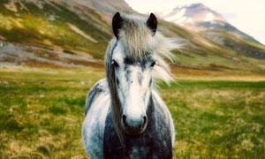 山脚下草原上的灰白马摄影高清图片