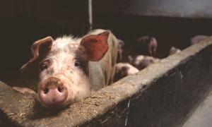 猪圈里的小猪近景特写摄影高清图片