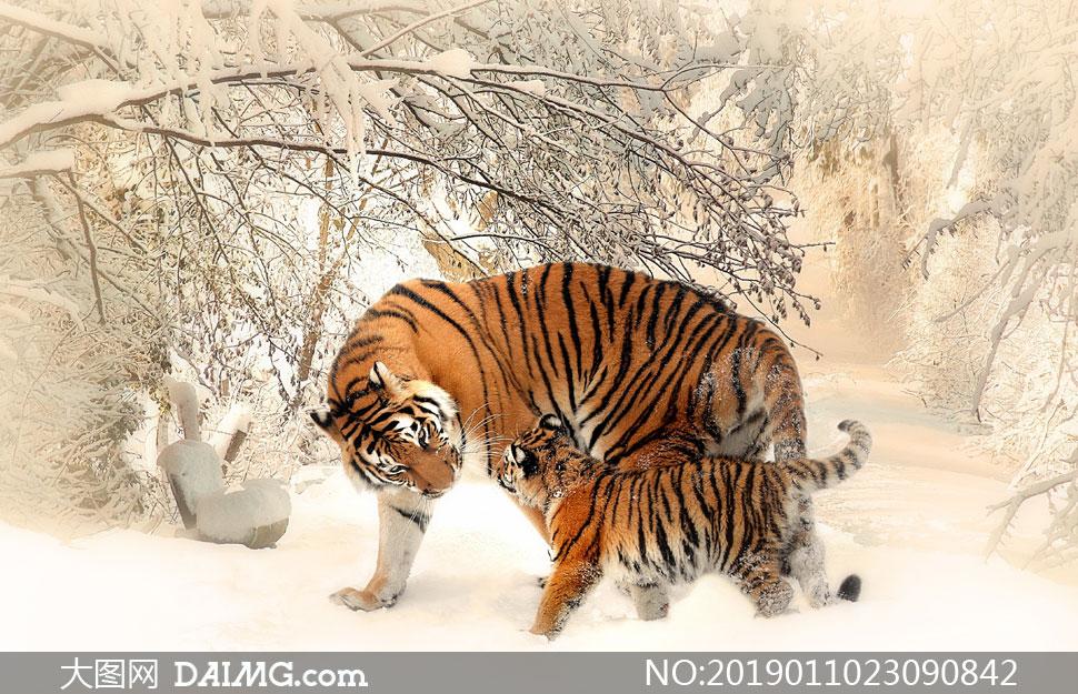 与虎妈妈嬉戏的小老虎摄影高清图片