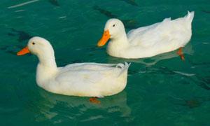 水中游水的两只小鸭子摄影高清图片